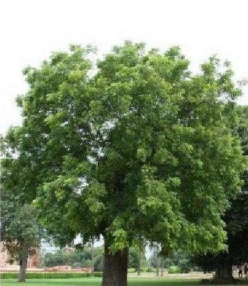Neem Announced Tree of the 21st Century